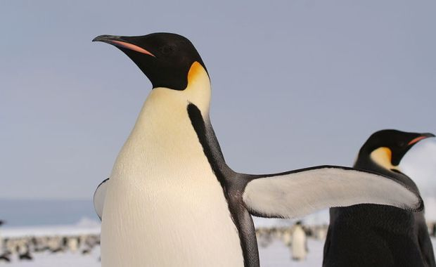 Alarming news: one of most iconic Antarctic figures, the Emperor penguin, which became famous thanks to the documentary 'March of the Penguins' and the animation film 'Happy Feet', may soon be extinct. - Click on image for full article