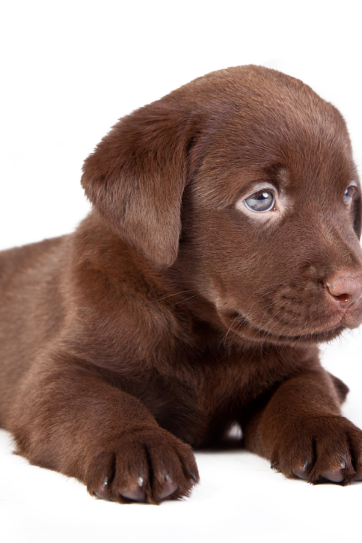 Chocolate Puppy Labrador Is Lying On The White Labradorretriever Golden Retriever Labrador Labrador Retriever Labrador