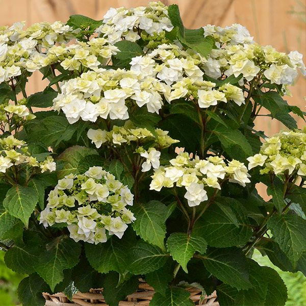 Hydrangea Macrophylla Wedding Gown: Hydrangea Macrophylla 'Wedding Gown' (PBR)