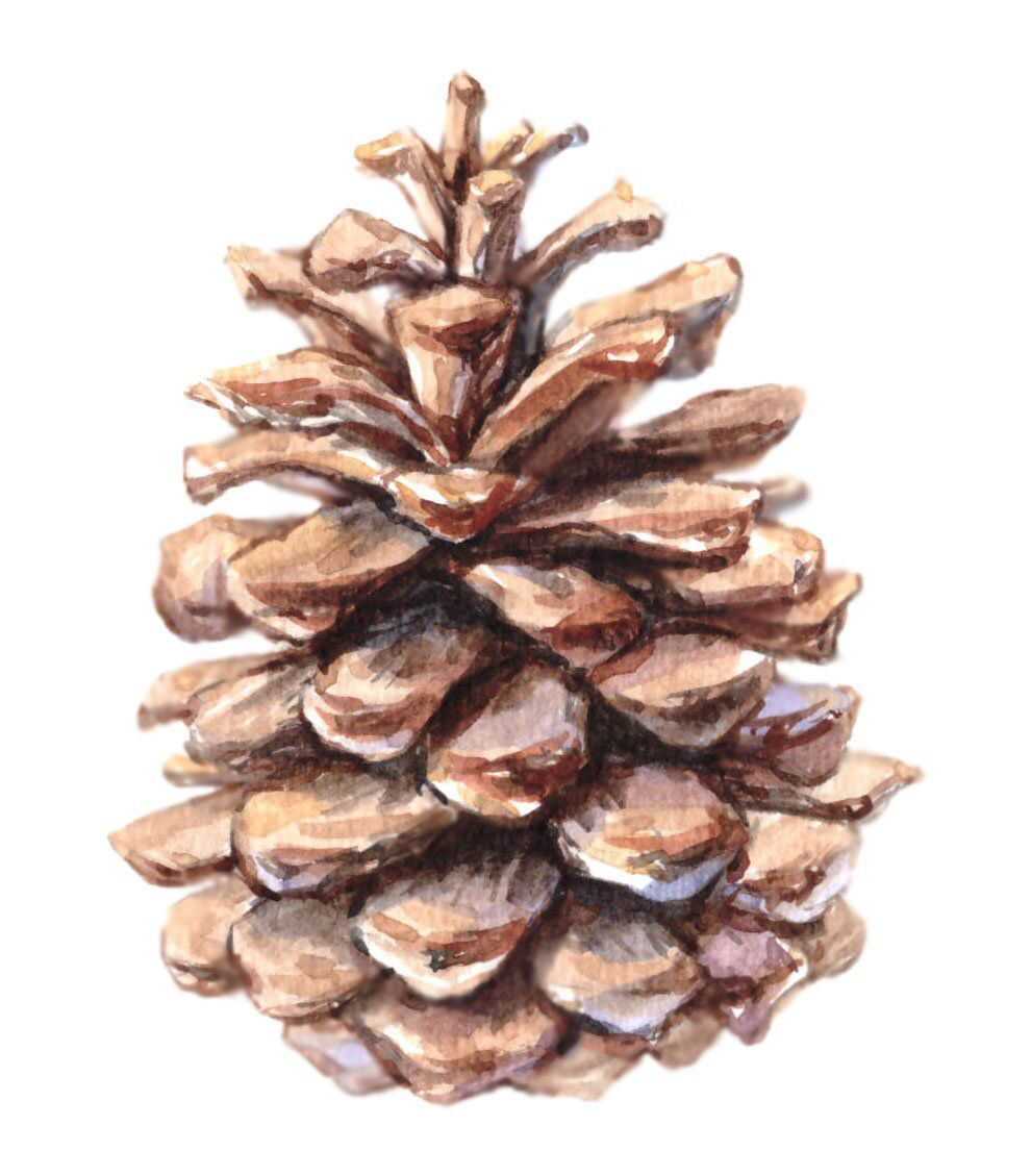 Pinecone Image Pinecone Clipart Clipart Wall Art Water Color Printable Png Jpg Instant Download Clip Art Scrapbook Materials Image