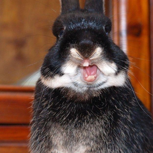 26 best Yawning rabbits images on Pinterest | Animals, Funny ...