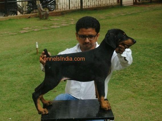 Doberman Puppies European Type For Sale In Mumbai 20
