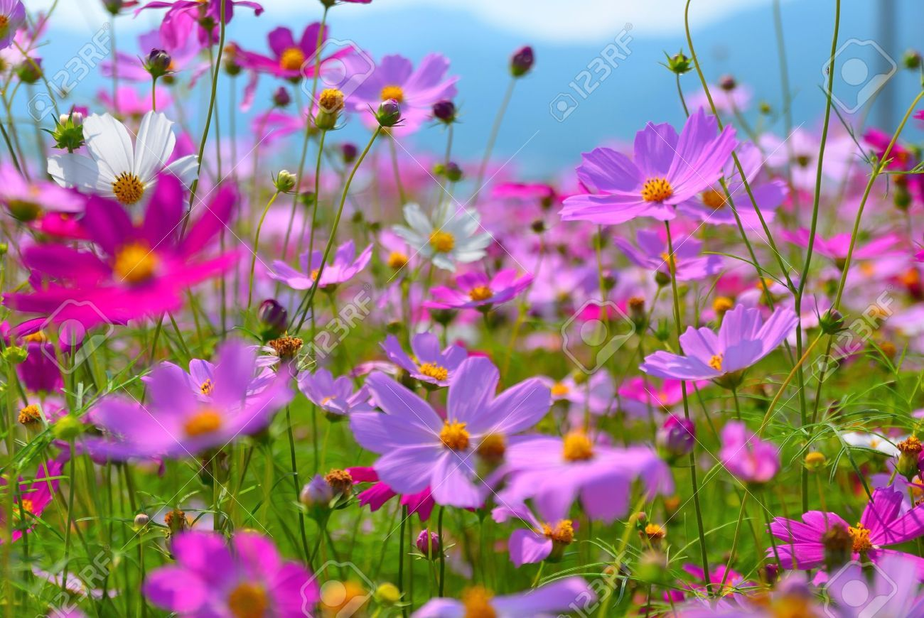 The Beautiful Cosmos Flower Fields In Taichung County Taiwan Cosmos Flowers Flower Field Flowers