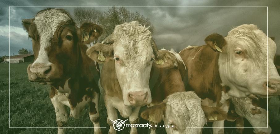 أهم الامراض الغذائية التي تصيب الابقار الحلابة حمى اللبن حالة البقرة فى هذا المرض ما هو مرض حمى اللبن مرض الكيتوزيس ما هو مرض Animals Cow New Details