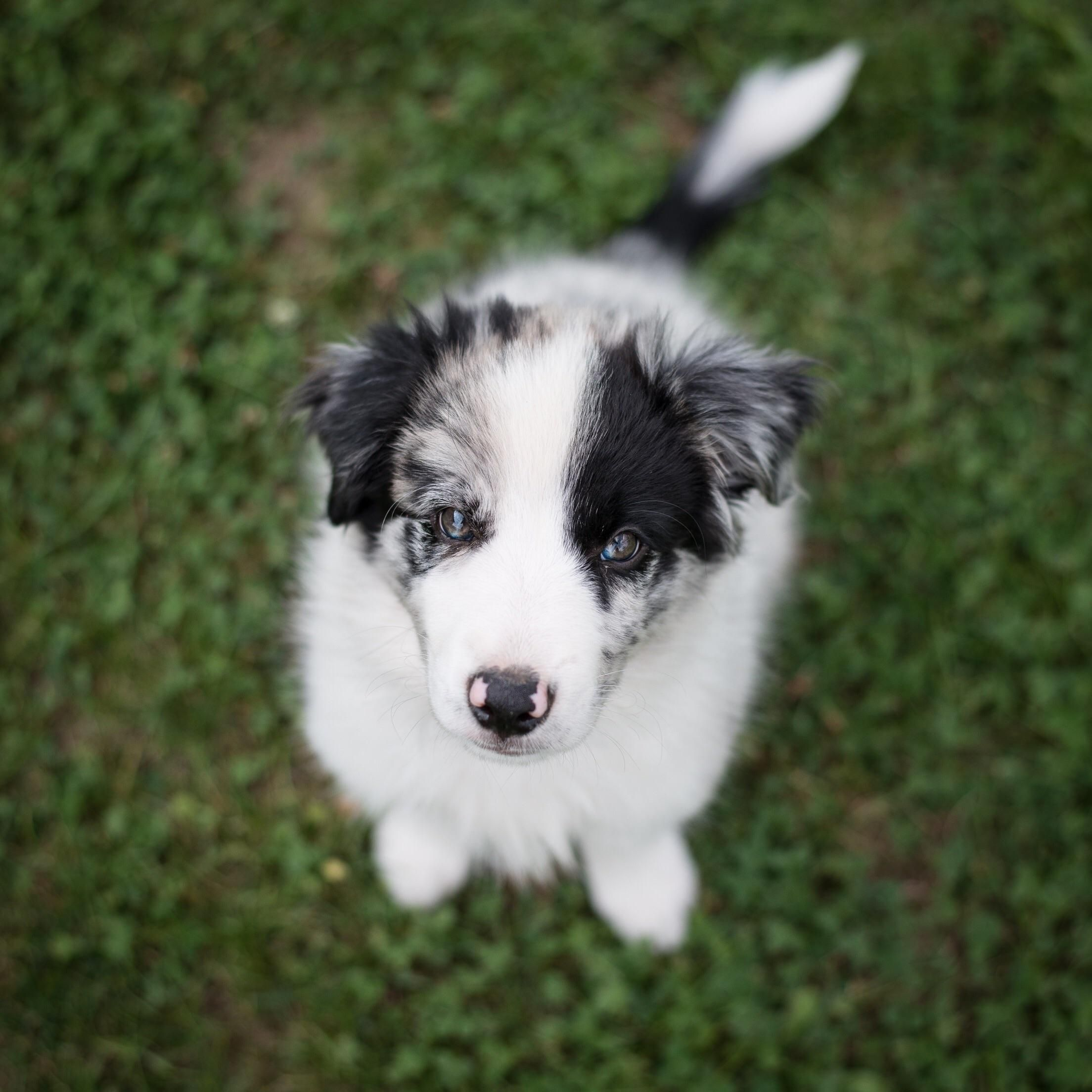 Hi My Name Is Marley Blue Merle Border Collie Smartest Dogs Aww Border Collie