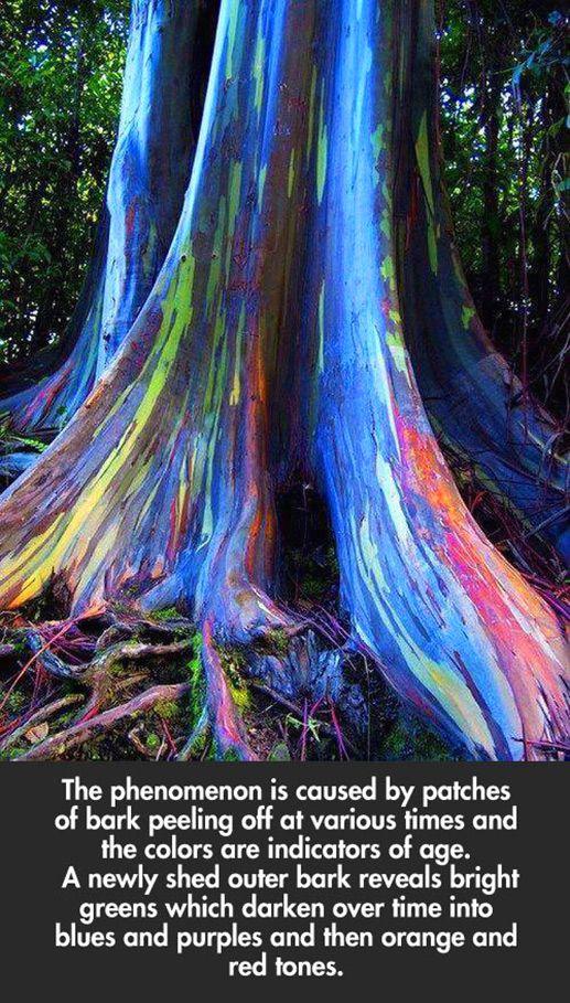 Rainbow Eucalyptus trees on Maui, Hawaii. Rainbow