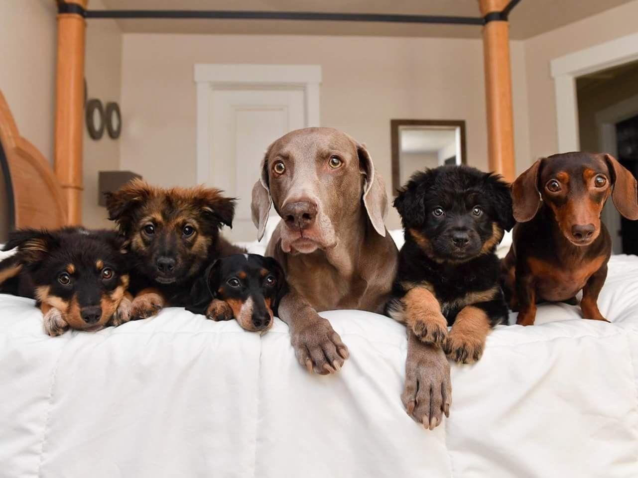 Pin by Michelle Johnson on Puppy Love Weiner dog, Brown