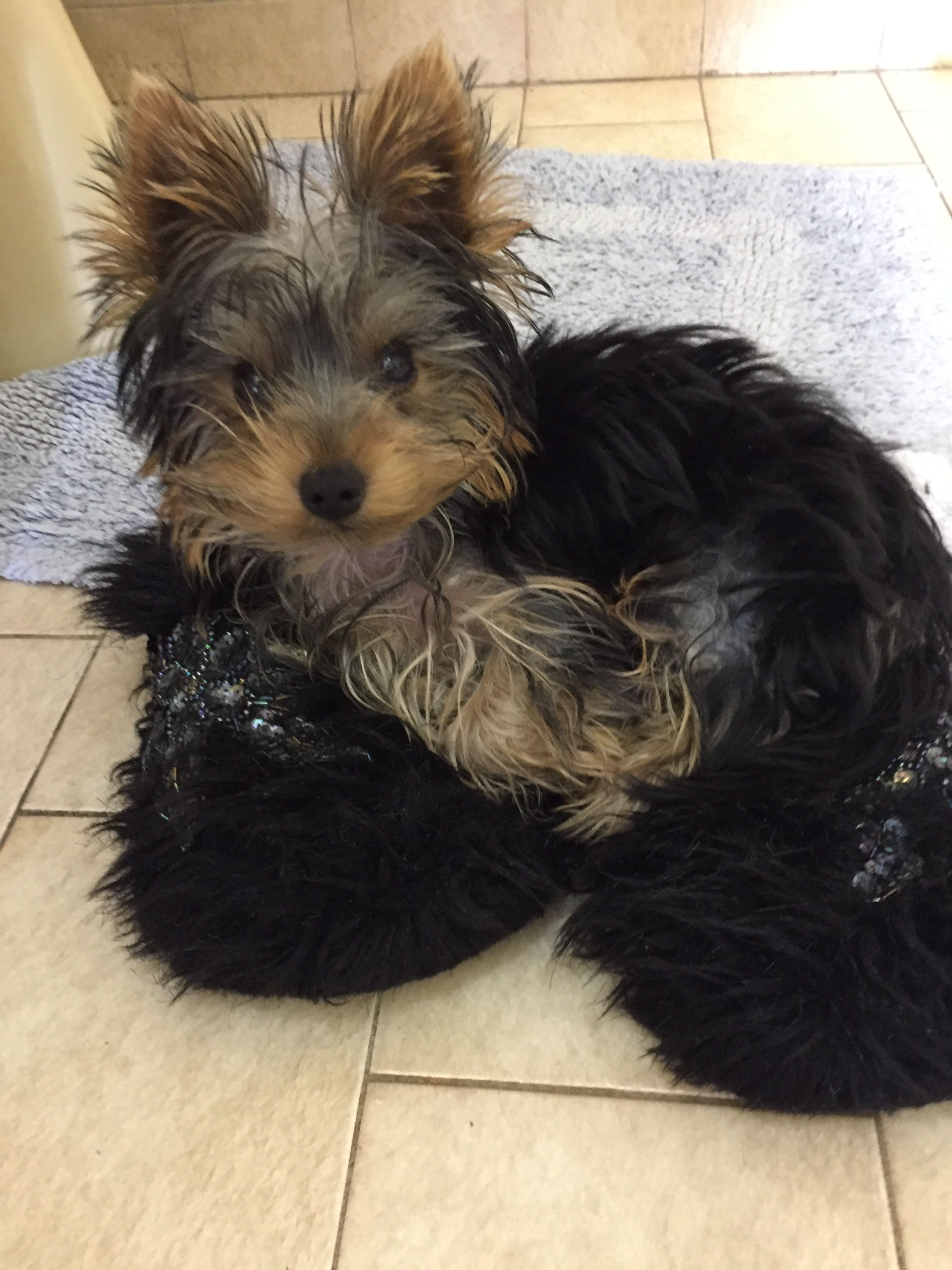 Jake In Moms Slippers Yorkie Terrier Yorkshire Terrier Dog Breeds