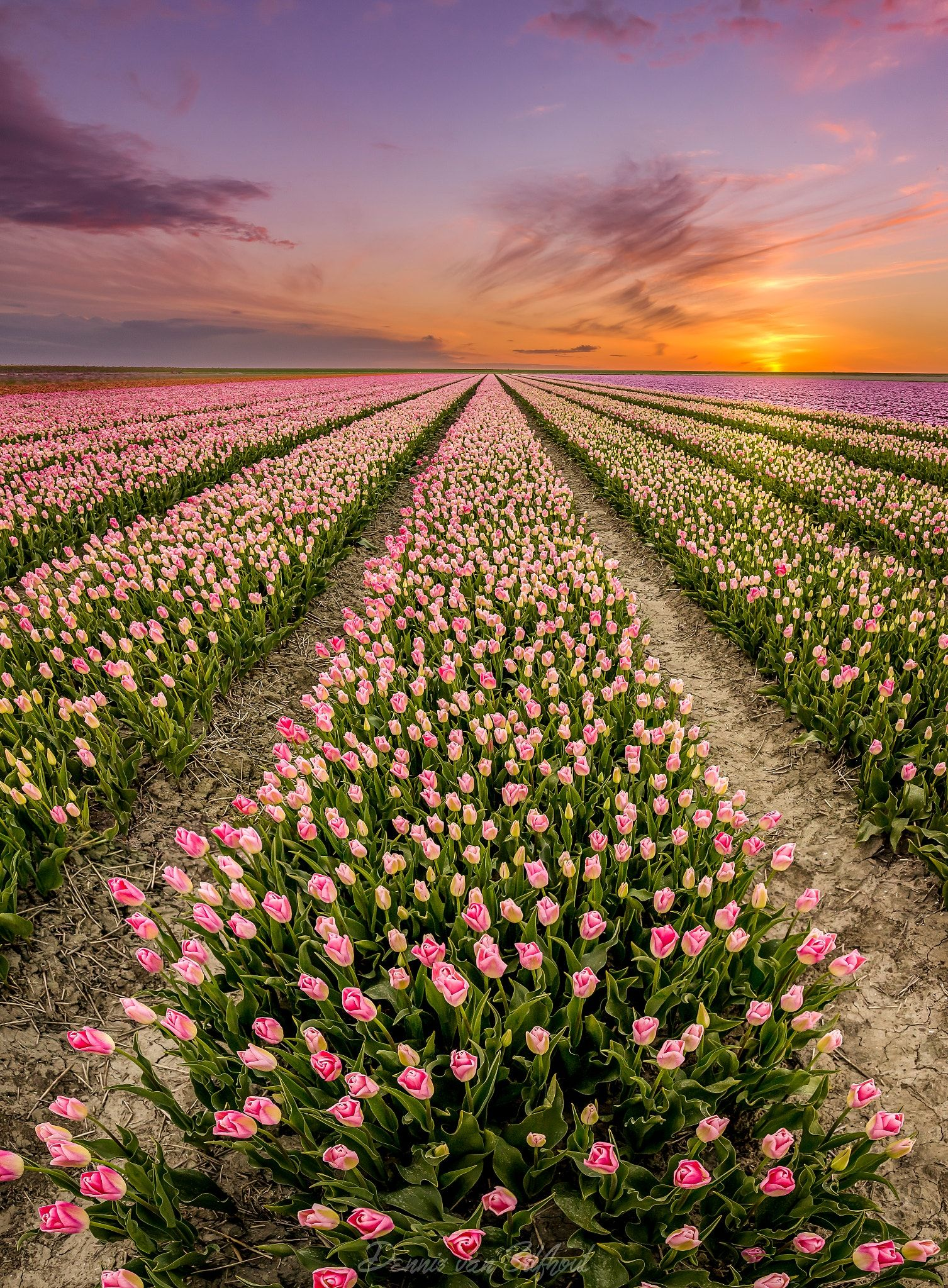 Tulipfields - A panorama shot from straight above slowly to the ...