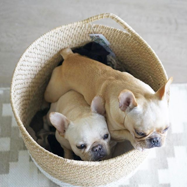 French Bulldogs Frenchieleo On Instagram Frenchies French