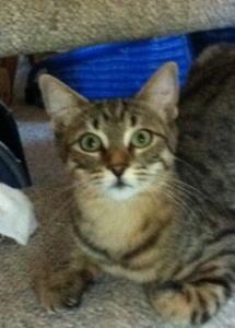 Adopt Sasha On Petfinder White Cat Cats Hair Buff