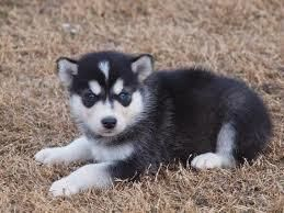 Cute Alusky Puppy Google Search Alaskan Husky Dog Breed Info
