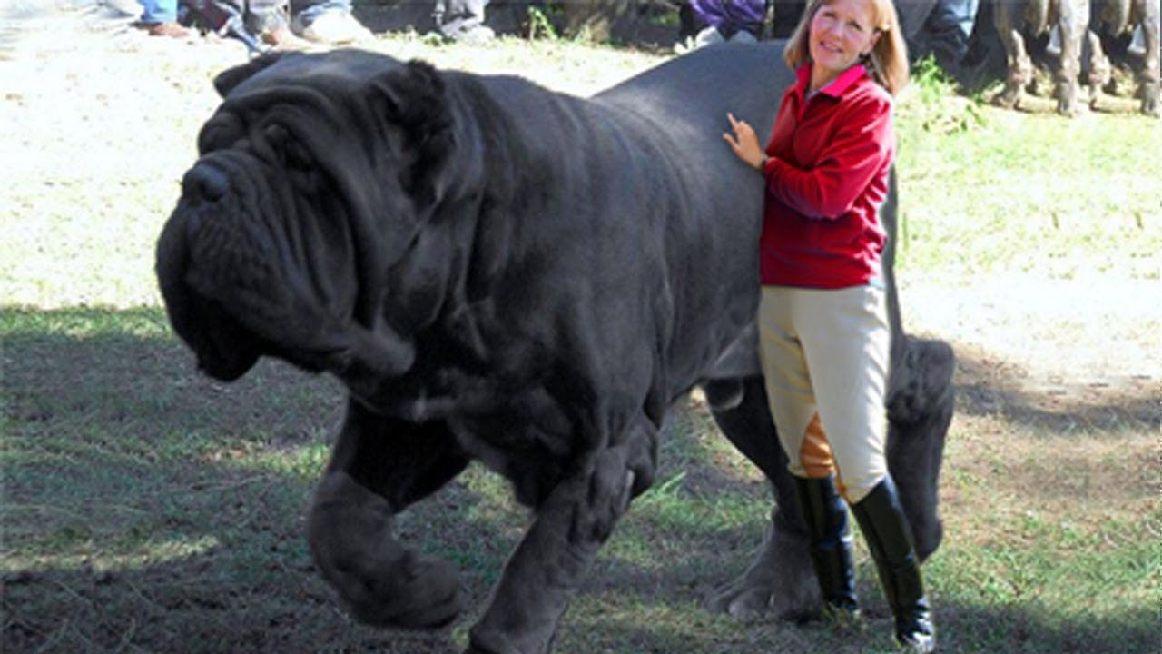 15 BIGGEST Dogs In The World | Catei | Pinterest | Dog ...