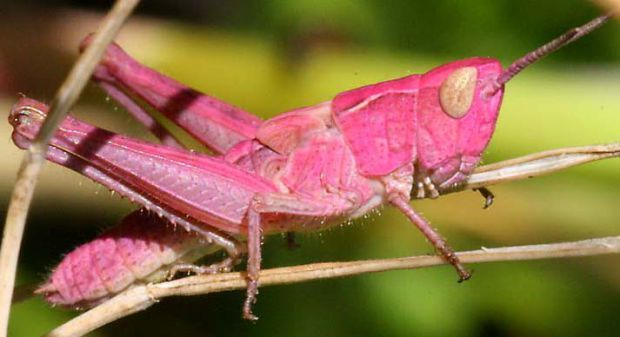 The grasshopper is an insect of the suborder Caelifera in the order Orthoptera. To distinguish it from bush crickets or katydids, it is sometimes referred to as the short-horned grasshopper. Species that change colour and behaviour at high population densities are called locusts. pink grasshopper