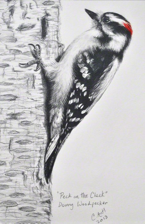 Downy Woodpecker Bird Drawing By Carolyn Antl Bird Drawings
