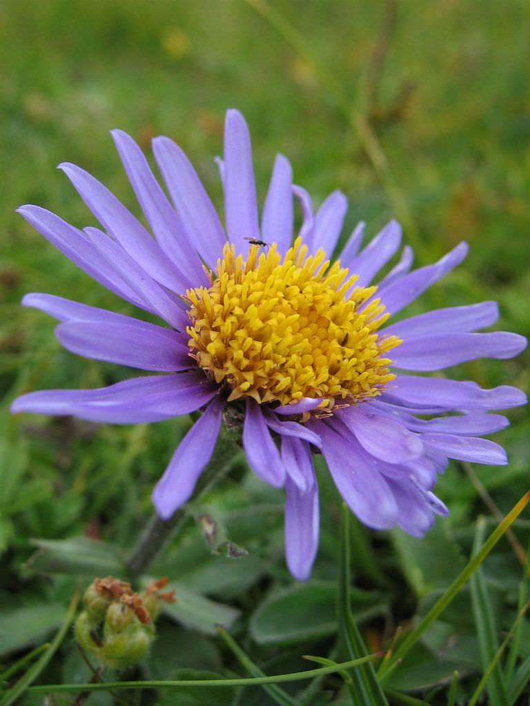 Aster Alpinus Alpine Aster World Of Flowering Plants Aster Planting Flowers Aster Flower