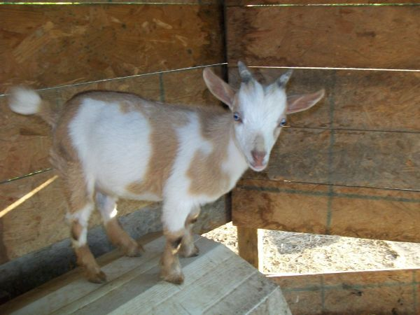Nigerian Dwarf Goat | Goats, Nigerian dwarf goats, Animals