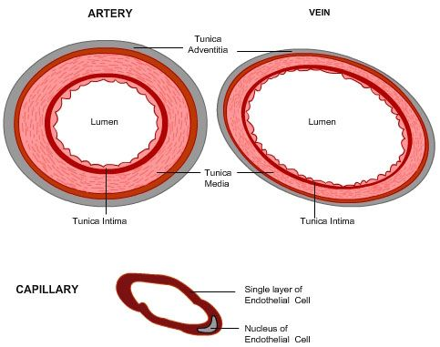 Medical School Cross Section Of An Artery Vein And Capillary Arteries Physical Education Lessons Health Science