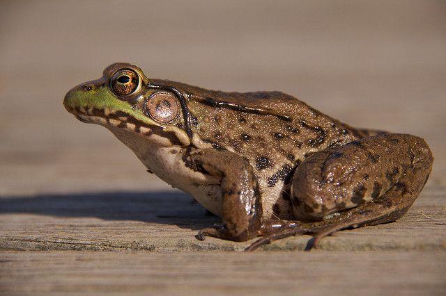 This brown leopard frog has tons of frog-it-tude! Thank you William Shewbridge http://www.flickr.com/photos/shewbridge/ !!!