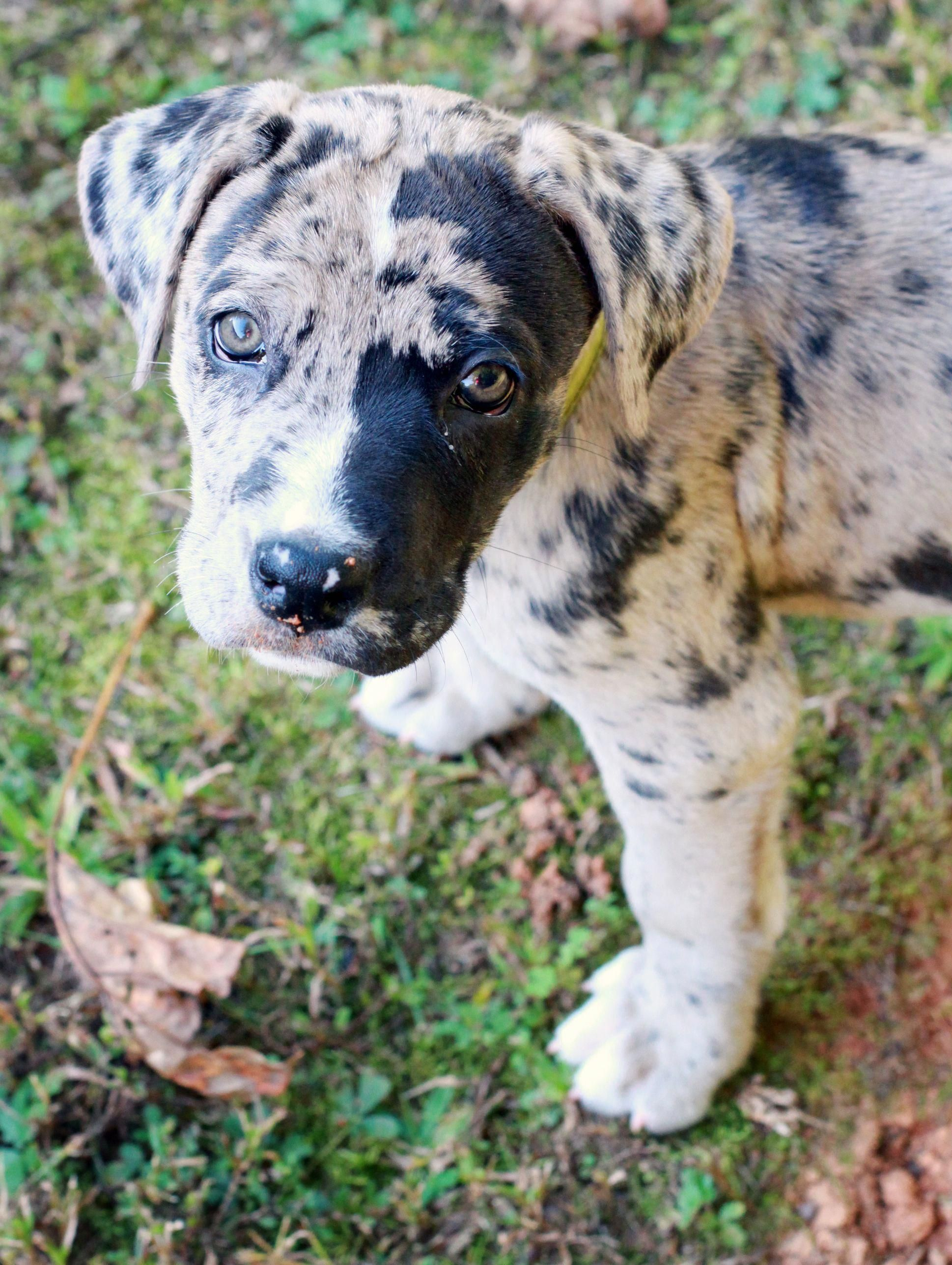 More About The Noble Great Danes Puppies Personality