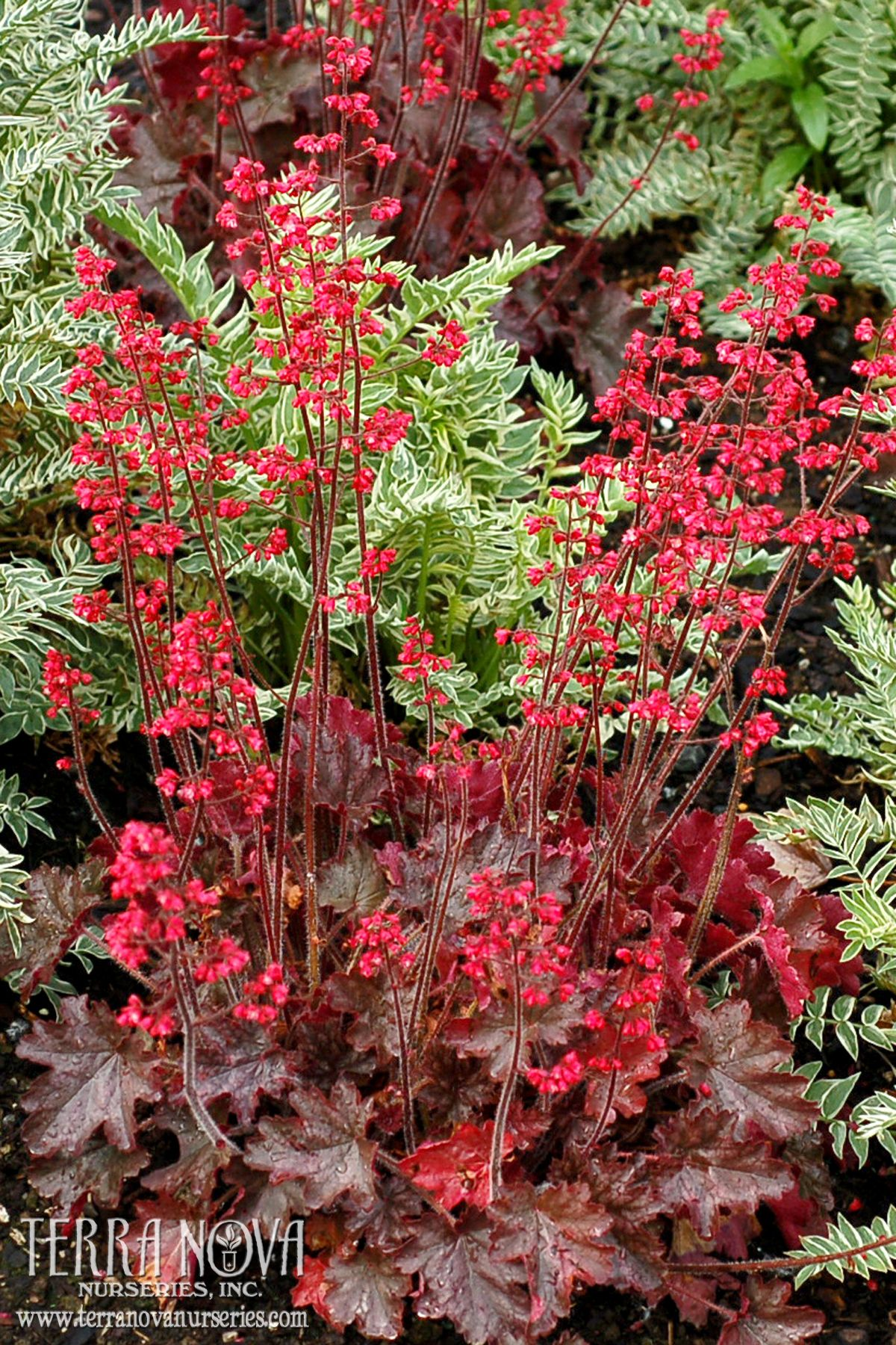 Heuchera Cherries Jubilee Soft Red Flowers On Warm Brown Foliage