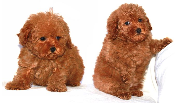 Toy Poodle Breeder Akc Puppies For Sale Los Angeles Ca From