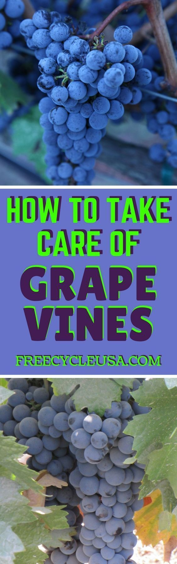 Learn How To Grow Grapes At Home. GrapeGrowingBeautiful