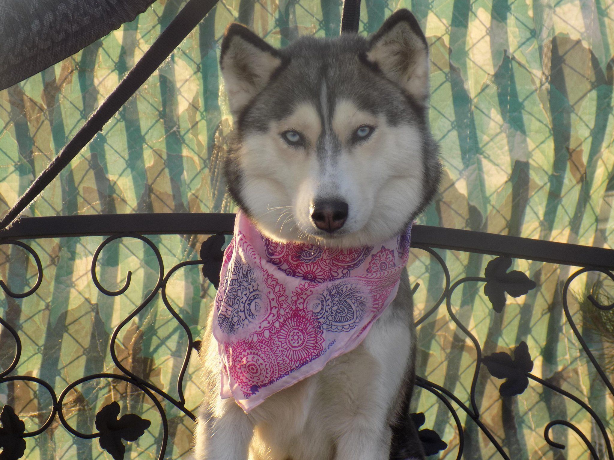 Siberian Husky Adoption Los Angeles