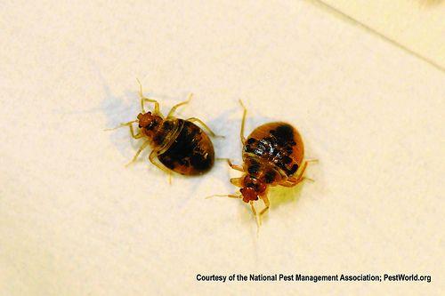 Comment se d barrasser des punaises de lit insecte - Comment se debarrasser des punaises de lit naturellement ...