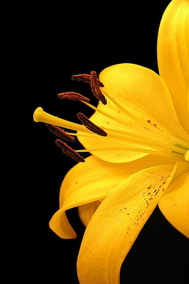 Wallpaper for iPhone Yellow Flower Reuplo