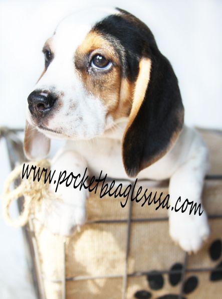 Pocket Beagles Puppies Puppy Puppy Kisses Adorable Dog