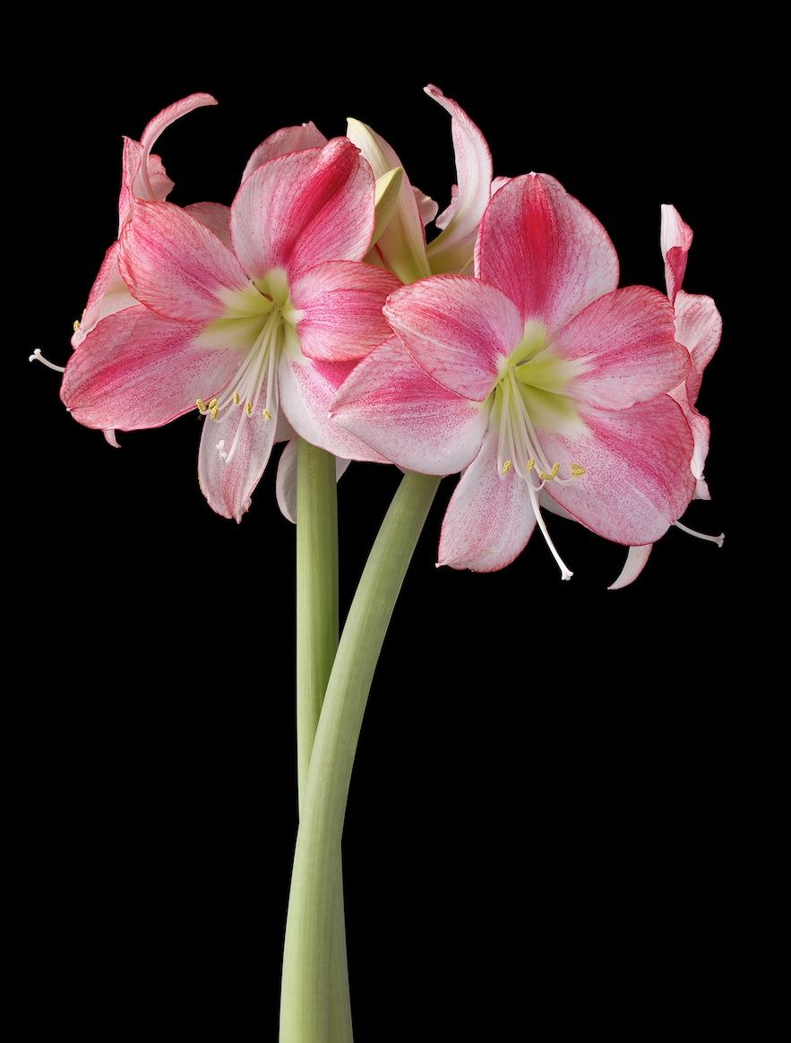 Single Flowered Amaryllis Q Z Gladiolus Flower Amaryllis Flowers Single Flower