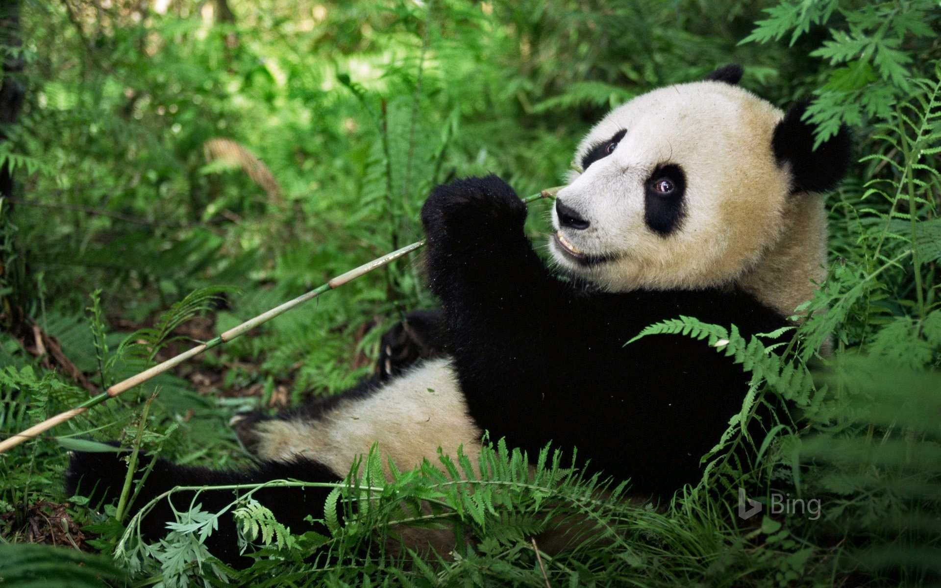 Giant Panda At The Wolong National Nature Reserve In The Mountains