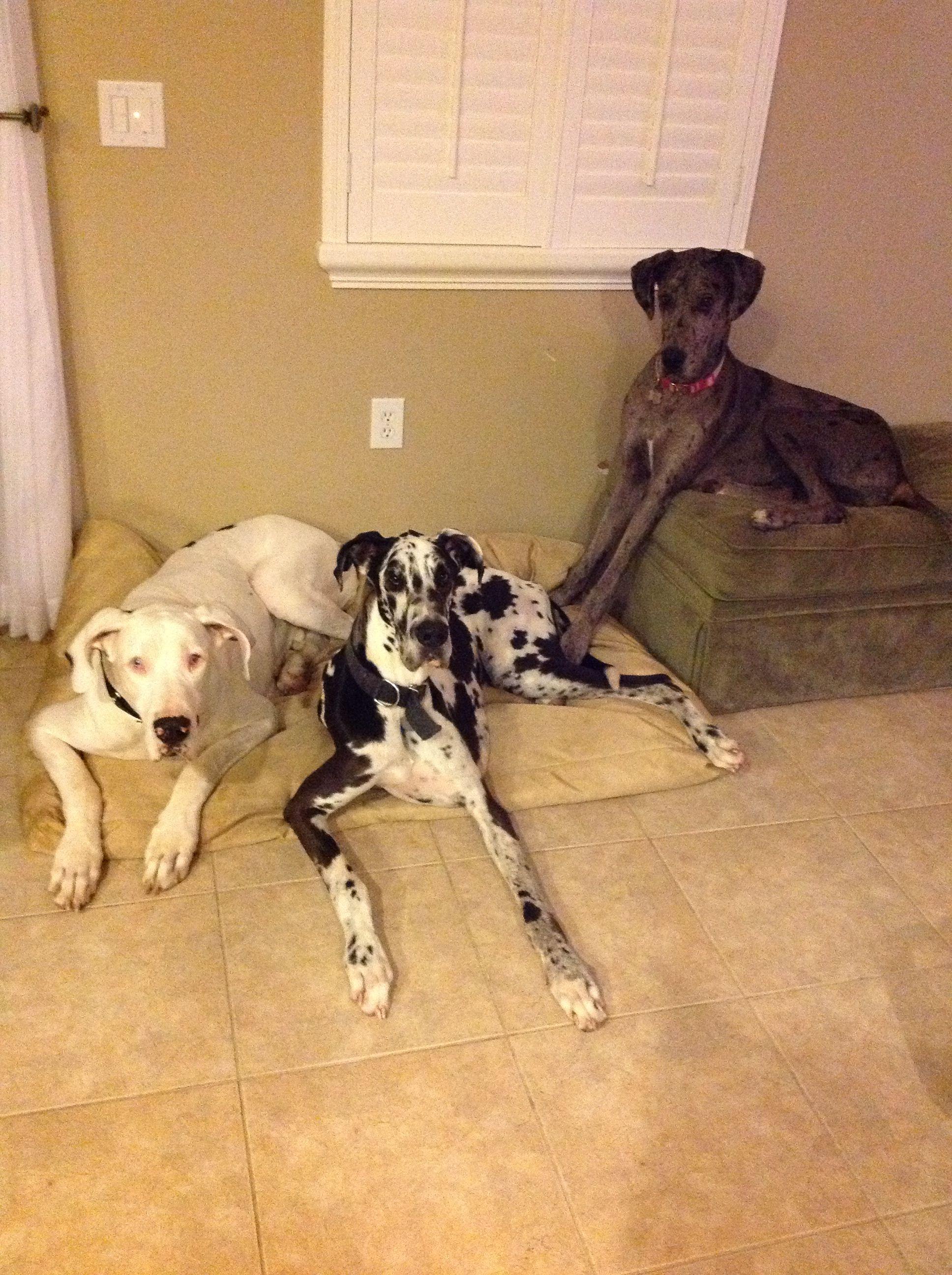 Great Danes! Adopt at Great Dane Love Central Florida