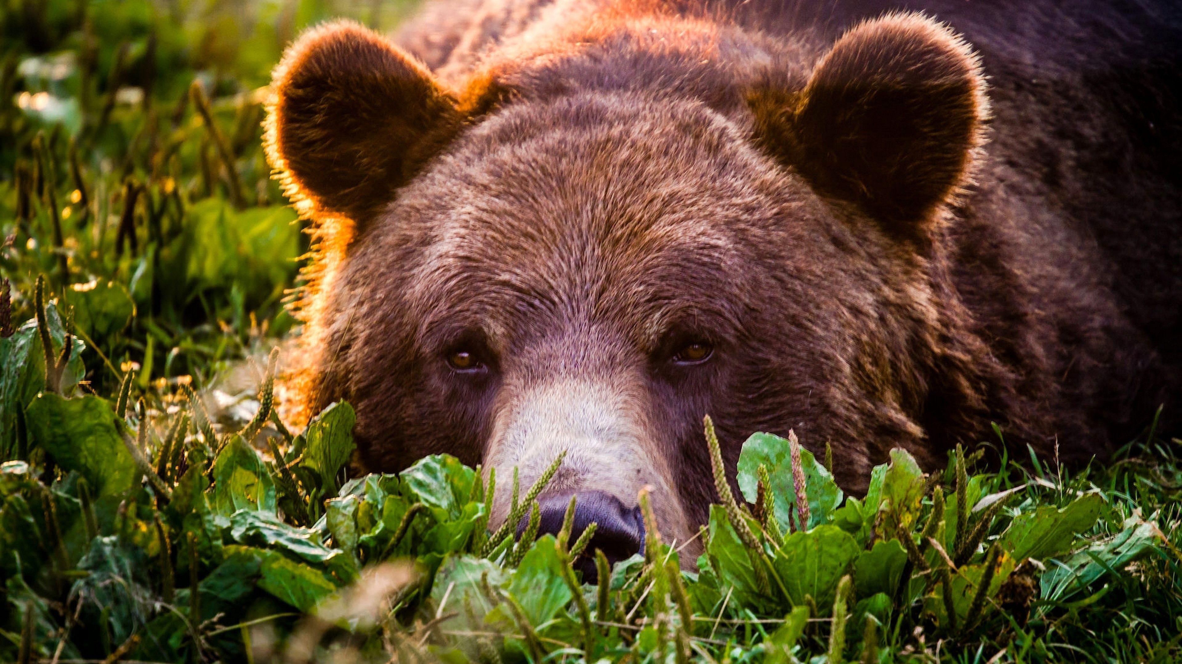Bear Face Grizzly bear, Animals, Bear face