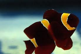 Gold Stripe Maroon Clownfish Clown Fish Reef Tank Gold Stripes