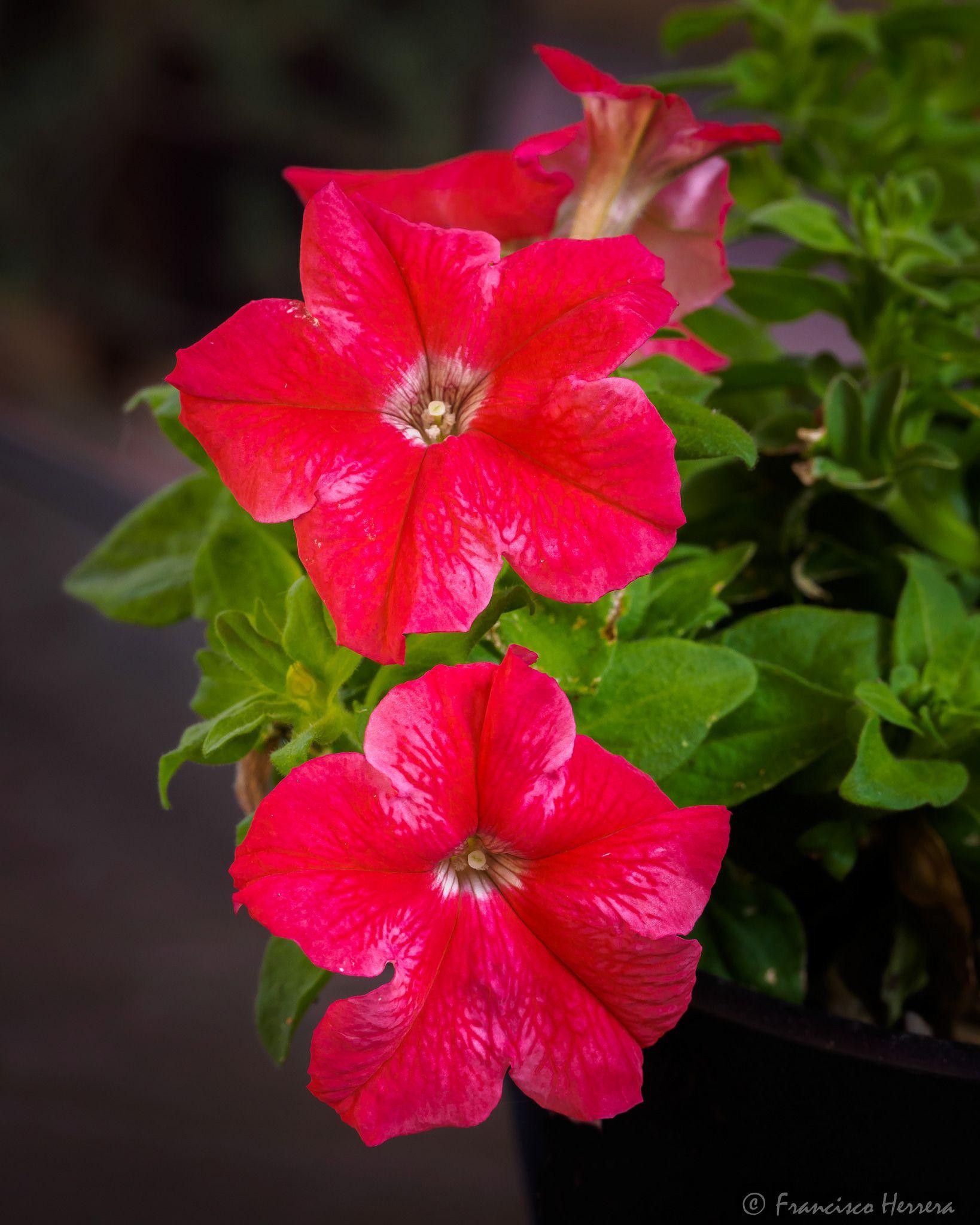 Petunia Petunias, Flowers