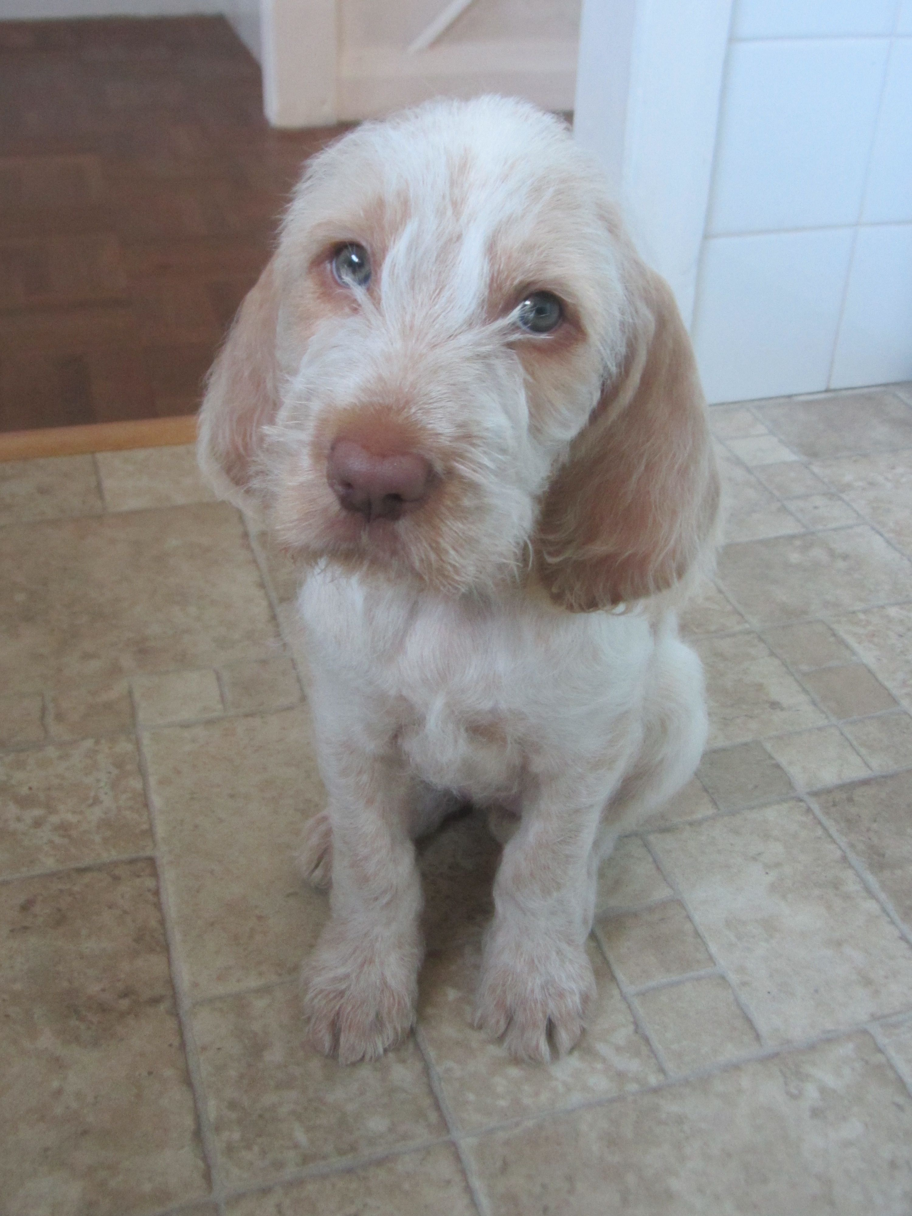 Spinone pup, Florence