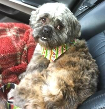 Adopt Levi On Havanese Dogs Shih Tzu Rescue Dogs