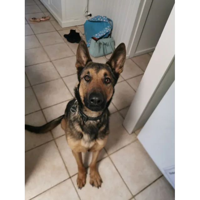 Fenton Large Male German Shepherd Dog In Nsw Petrescue