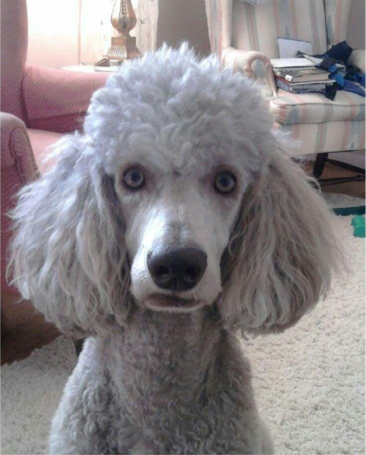 Blue Eyes Standard Poodle Poodle Dog Dog Photography