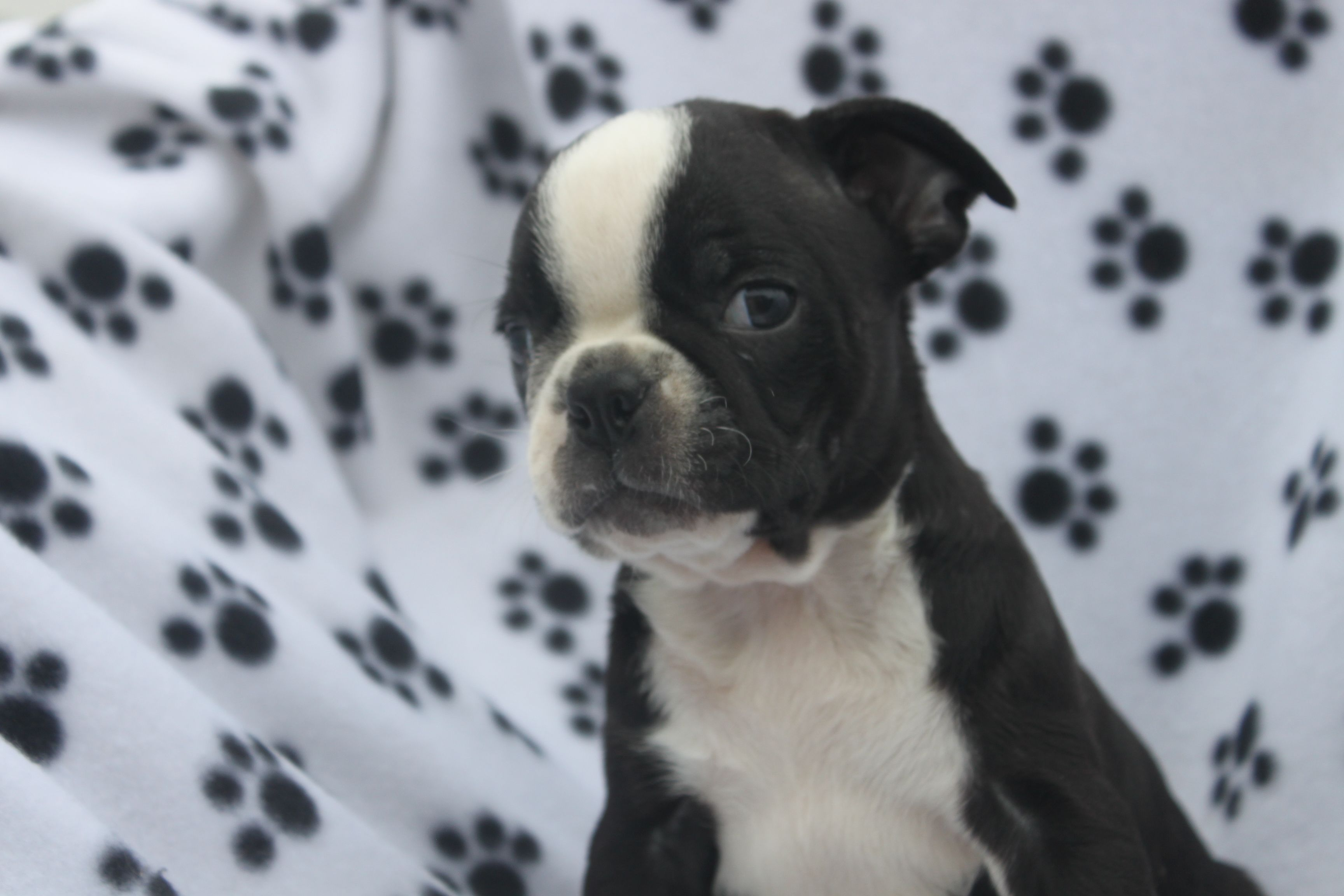 Pin by Network34 com on Boston Terrier Puppies For Sale