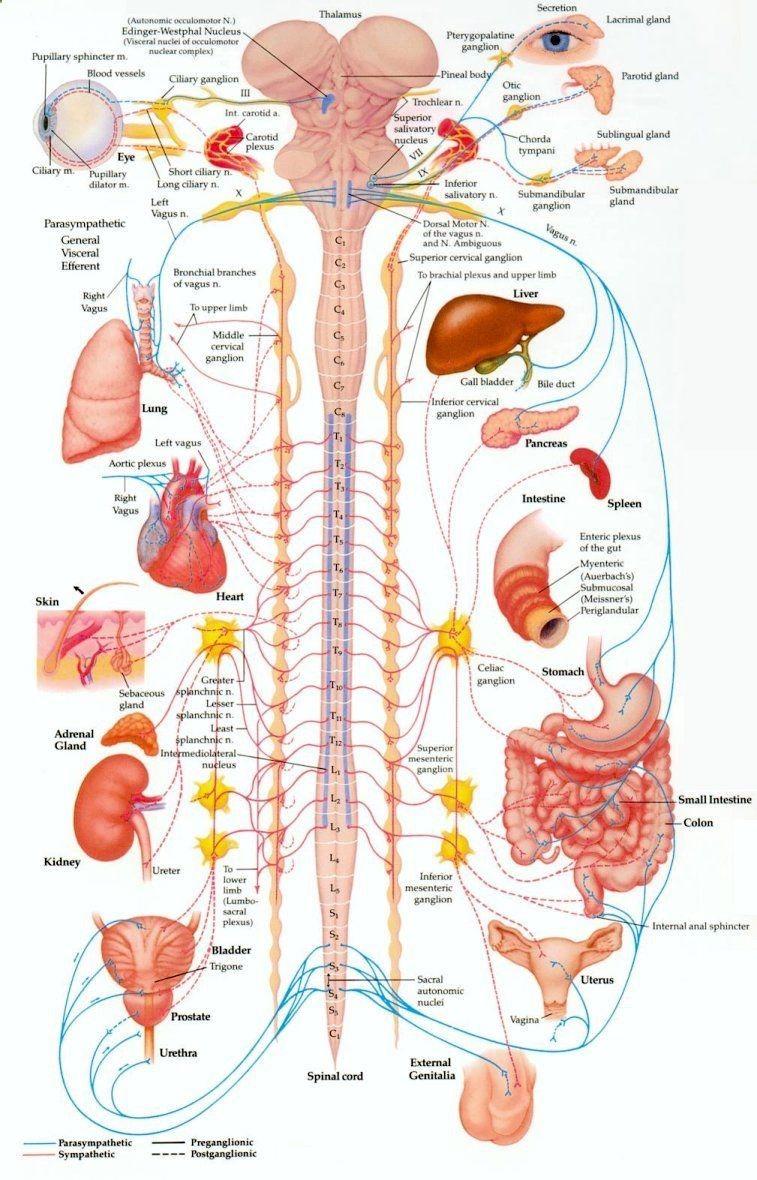 diagram of the human body internal organs | Nursing. (: | Pinterest ...