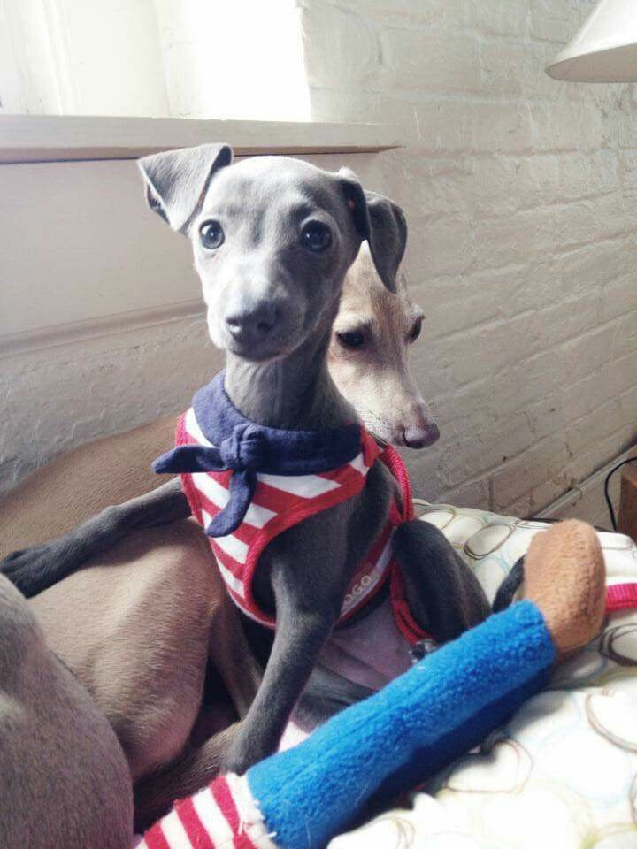 Pin By Chacha Stickdog On Italian Greyhounds In 2020 Grey Hound Dog Italian Greyhound Puppies Whippet Dog