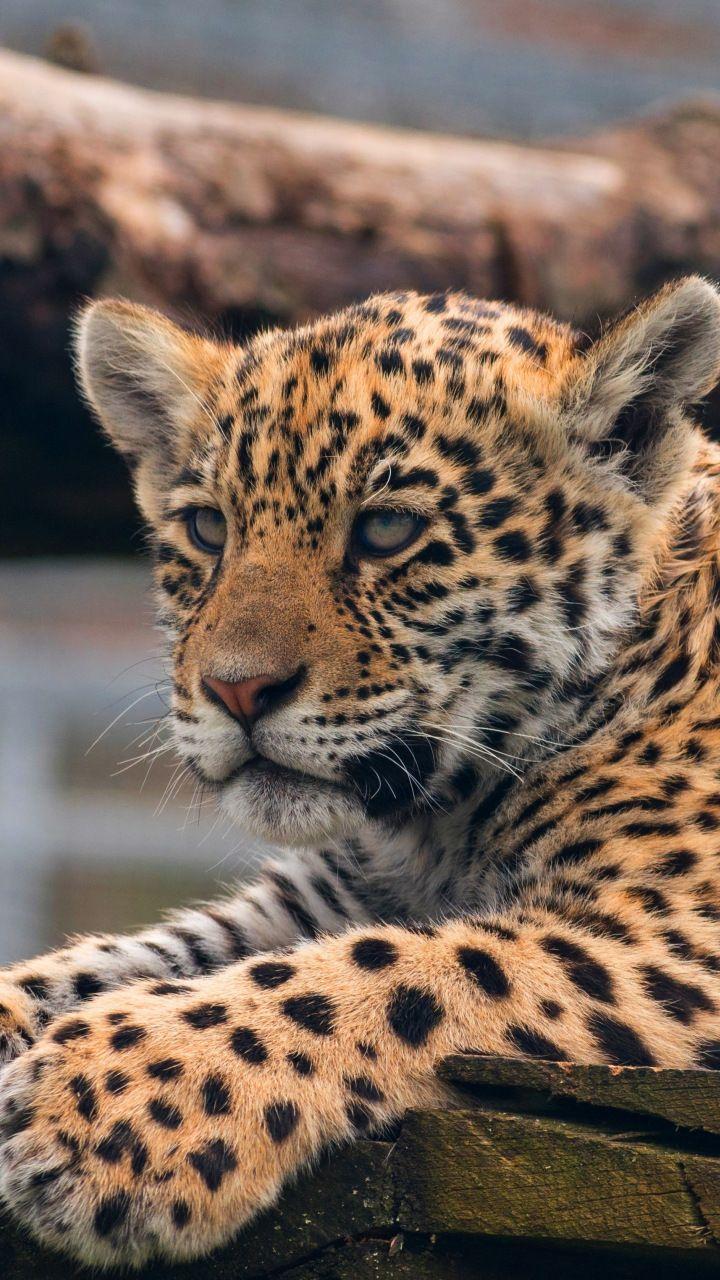 Leopard Cub Baby Animal Predator 720x1280 Wallpaper Belles