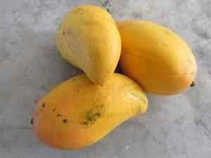 mango the king of fruits essay