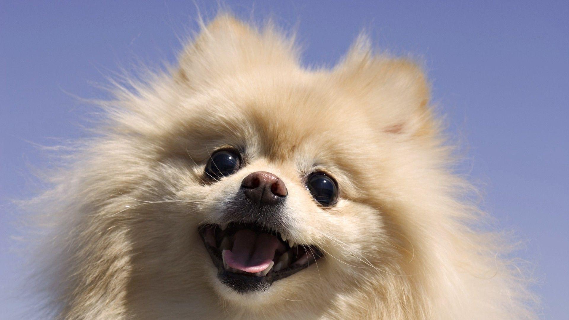 Cute Fluffy Puppy Dog | Pets | Pinterest | Puppys, Cute ...