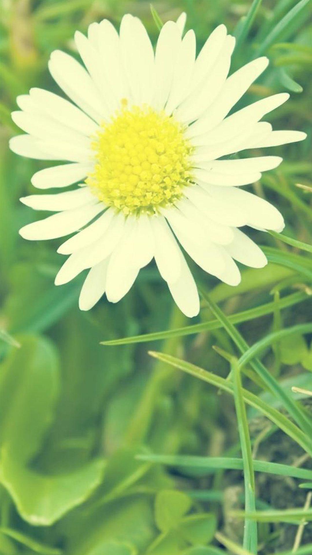 White Sunshine Daisy Flower Melhores fundos para iphone