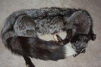 Меха и кожа   Шкура - мех серебристой  лисы  (чернобурка)