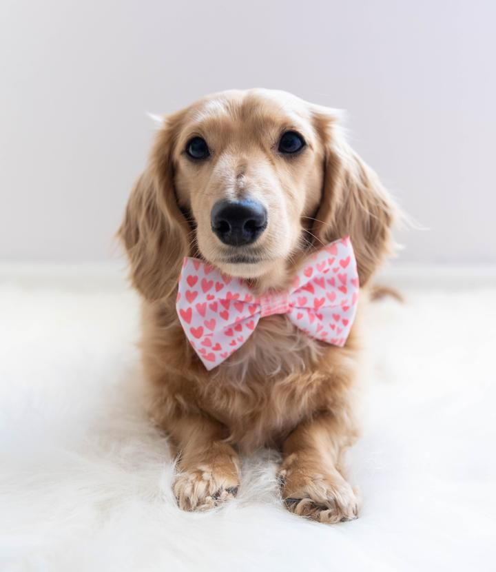 e71873f989f9 Bowtie - Dolce Rose | dog gets festive | Dogs, Dog mom, Holiday gifts